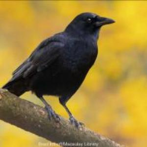Anything but Common The Hidden Life of the American Crow
