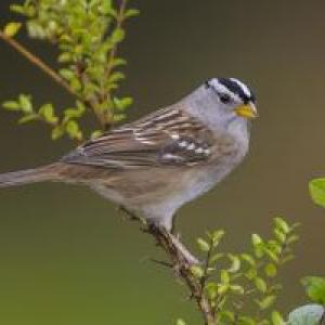 Be a Better Birder Sparrow Identification