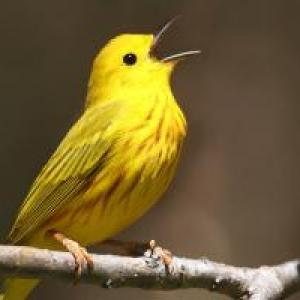 Be a Better Birder How to Identify Bird Songs