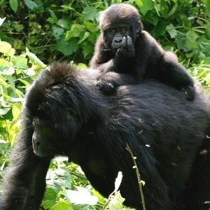 Gorilla with a baby gorilla on its back