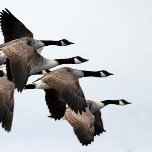 Several Canadian geese flying together